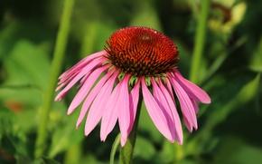 Картинка цветок, лето, макро, розовый, эхинацея