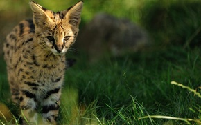 Картинка трава, котенок, уши, дикая кошка, сервал