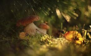 Картинка осень, лес, трава, макро, свет, грибы, боке