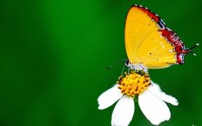 Обои белый, цветок, макро, бабочка, зеленый фон