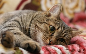 Картинка кошка, отдыхает, на одеяле