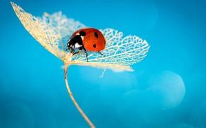 Обои ladybug, insect, ladybird, hydrangea