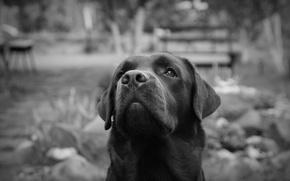 Картинка Питер, черно-белое, Лабрадор