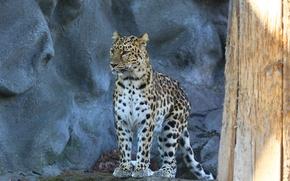 Картинка взгляд, хищник, леопард, amur leopard, пятнистая кошка