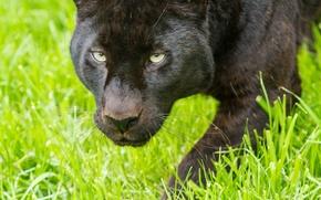 Картинка кошка, взгляд, леопард, пантера, трава, морда