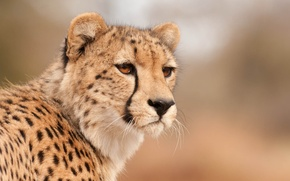Обои морда, гепард, смотрит