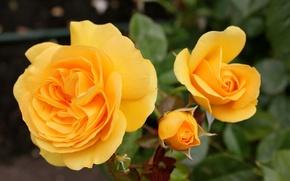 Картинка Розы, бутоны, yellow, жёлтые, roses
