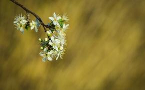 Картинка цветы, фон, ветка, весна, белые, цветение