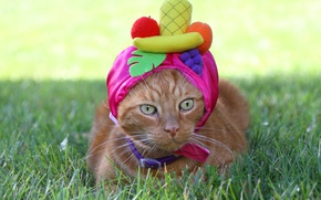 Обои глаза, кот, взгляд, шапочка