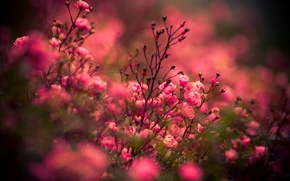 Картинка розы, Цветы, rose, flower, nature, flowers, roses