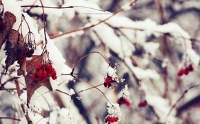 Картинка зима, макро, снег, природа, калина