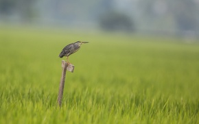 Картинка трава, grass, цапля, heron, окунь Герона, heron's perch