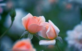 Картинка макро, розы, Kiss me