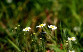 Картинка лето, цветы, трава, зелень, Ромашки