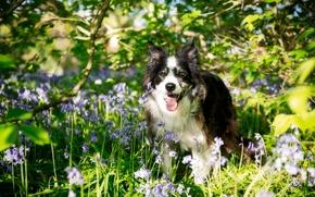 Картинка цветы, собака, Бордер-колли