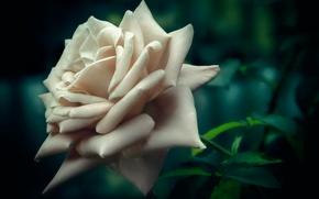 Обои макро, боке, белая роза