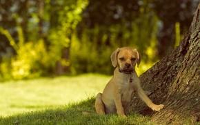 Картинка взгляд, собака, Пагль