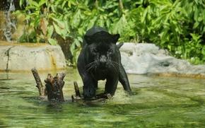 Картинка хищник, пантера, купание, дикая кошка, зоопарк, водоём, чёрный ягуар
