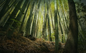 Картинка бамбук, высота, лес