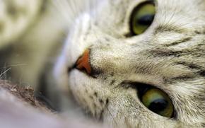 Обои кошка, макро, усы, волоски, морда, шерсть, нос, глаза, кот