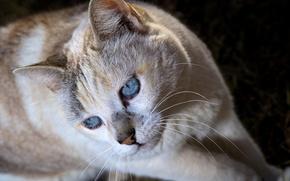 Картинка кошка, кот, взгляд, морда, голубые глаза