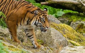 Картинка кошка, взгляд, тигр, камни, мох, суматранский