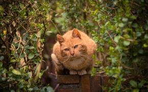 Картинка кот, взгляд, деревья, забор, рыжий, кустарник