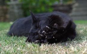 Картинка кошка, кот, лежит, лапка