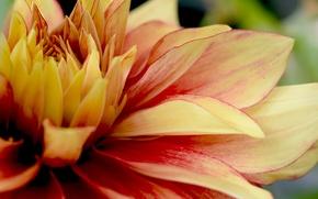 Картинка желтый, лепестки, широкоформатные, георгин, цветок (цветы)