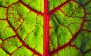 Обои зелень, макро, лист