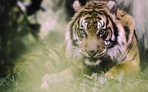 Обои взгляд, тигр, хищник, дикая кошка