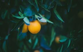Картинка листья, желтый, лимон
