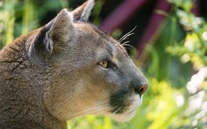 Картинка кошка, профиль, пума, горный лев, кугуар, ©Tambako The Jaguar