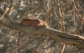 Картинка кошка, Леопард, спит, лежит, на дереве