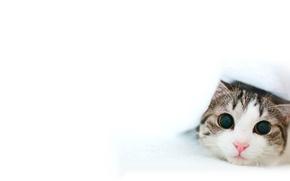 Обои белый, нос, кот