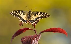 Картинка листья, бабочка, ветка, махаон