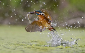 Картинка всплеск, зимородок, Green fishing