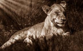 Картинка трава, лучи, кошки, природа, поза, тепло, отдых, лев, сепия, лежит, дикие кошки, монохром, львенок, нега, …
