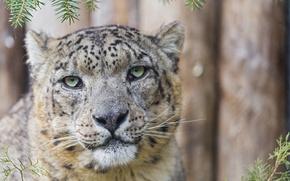 Картинка кошка, морда, портрет, ирбис, снежный барс, ©Tambako The Jaguar