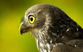 Картинка птица, голова, сокол, зеленый фон, оперение