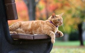 Обои кот, осень, рыжий, скамейка, рыжий кот, боке
