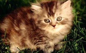 Картинка пушистый, полосатый, серый котенок