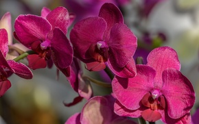 Обои макро, ветка, орхидея, Фаленопсис