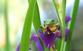 Картинка лягушка, зеленая, ирис