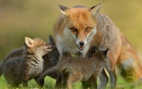 Картинка взгляд, лиса, лисы, малыши, материнство, детёныши, лисята