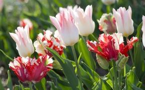 Картинка белый, цветы, розовый, тюльпаны