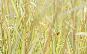 Обои трава, пчела, насекомое, колосья