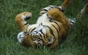 Картинка трава, киски, хищники, киска, дикие кошки, тигры, заповедники, кисы, зоопарки
