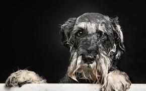 Картинка взгляд, друг, собака, ванна, пёсик, Мокрый портрет