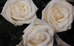 Картинка обои, розы, белые розы, широкоформатные, широкоэкранные